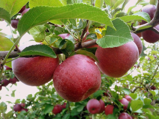 red-apples-1